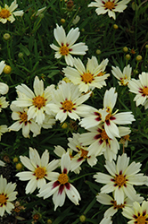 Starlight Tickseed (Coreopsis 'Starlight') at North Branch Nursery