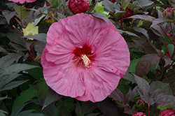 Berry Awesome Hibiscus (Hibiscus 'Berry Awesome') at North Branch Nursery