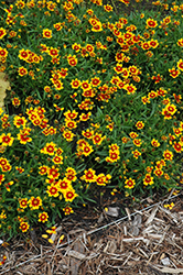 Daybreak Tickseed (Coreopsis 'Daybreak') at North Branch Nursery