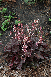 Dolce Brazen Raisin Coral Bells (Heuchera 'Inheubrara') at North Branch Nursery