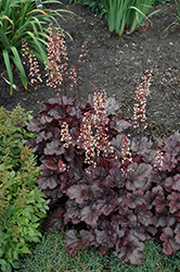 Grape Expectations Coral Bells (Heuchera 'Grape Expectations') at North Branch Nursery