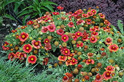 Arizona Red Shades Blanket Flower (Gaillardia x grandiflora 'Arizona Red Shades') at North Branch Nursery