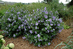 Blue Chiffon® Rose of Sharon (Hibiscus syriacus 'Notwoodthree') at North Branch Nursery