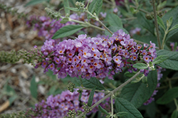 Lavender Cupcake Butterfly Bush (Buddleia 'Lavender Cupcake') at North Branch Nursery