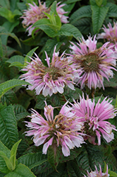 Cotton Candy Beebalm (Monarda 'Cotton Candy') at North Branch Nursery