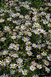 Blue Star Japanese Aster (Kalimeris incisa 'Blue Star') at North Branch Nursery