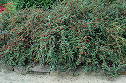 Cranberry Cotoneaster (Cotoneaster apiculatus) at North Branch Nursery