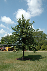 Shingle Oak (Quercus imbricaria) at North Branch Nursery