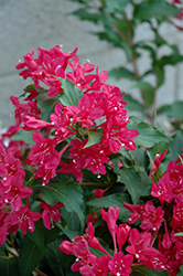 Sonic Bloom Red® Reblooming Weigela (Weigela florida 'Verweig 6') at North Branch Nursery