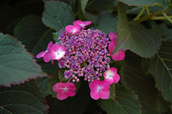 Tuff Stuff™ Hydrangea (Hydrangea serrata 'MAK20') at North Branch Nursery