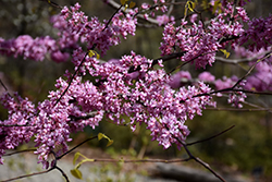 Hearts of Gold Redbud (Cercis canadensis 'Hearts of Gold') at North Branch Nursery