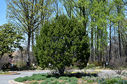 Lacebark Pine (Pinus bungeana) at North Branch Nursery