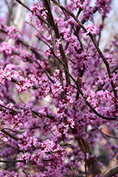 Ace Of Hearts Redbud (Cercis canadensis 'Ace Of Hearts') at North Branch Nursery