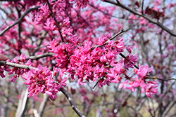 Appalachian Red Redbud (Cercis canadensis 'Appalachian Red') at North Branch Nursery