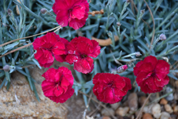 Frosty Fire Pinks (Dianthus 'Frosty Fire') at North Branch Nursery