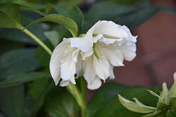 Wedding Ruffles Hellebore (Helleborus 'Wedding Ruffles') at North Branch Nursery