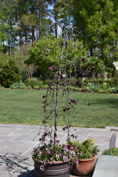 Ruby Falls Weeping Redbud (Cercis canadensis 'Ruby Falls') at North Branch Nursery