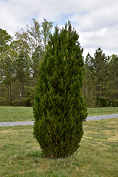 Spartan Juniper (Juniperus chinensis 'Spartan') at North Branch Nursery