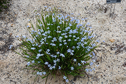 Narrowleaf Blue-Eyed Grass (Sisyrinchium angustifolium) at North Branch Nursery