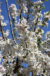 Sugar Tyme Flowering Crab (Malus 'Sugar Tyme') at North Branch Nursery