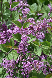 Bloomerang® Dark Purple Lilac (Syringa 'SMSJBP7') at North Branch Nursery