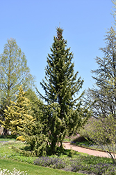 Serbian Spruce (Picea omorika) at North Branch Nursery