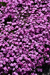 Emerald Pink Moss Phlox (Phlox subulata 'Emerald Pink') at North Branch Nursery