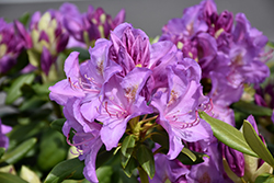 Boursault Rhododendron (Rhododendron catawbiense 'Boursault') at North Branch Nursery