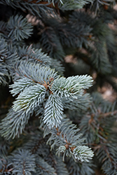 Hoopsii Blue Spruce (Picea pungens 'Hoopsii') at North Branch Nursery