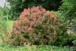 Admiration Japanese Barberry (Berberis thunbergii 'Admiration') at North Branch Nursery