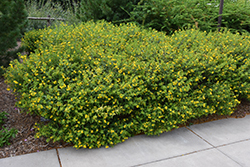 Ames St. John's Wort (Hypericum kalmianum 'Ames') at North Branch Nursery