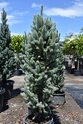 Blue Totem Spruce (Picea pungens 'Blue Totem') at North Branch Nursery