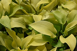 Prairie Moon Hosta (Hosta 'Prairie Moon') at North Branch Nursery