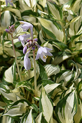Loyalist Hosta (Hosta 'Loyalist') at North Branch Nursery