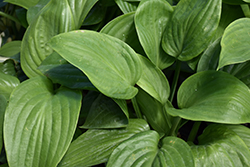 Humpback Whale Hosta (Hosta 'Humpback Whale') at North Branch Nursery