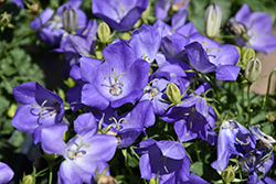 Rapido Blue Bellflower (Campanula carpatica 'Rapido Blue') at North Branch Nursery