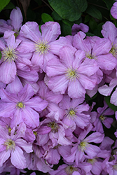 Comtesse de Bouchaud Clematis (Clematis 'Comtesse de Bouchaud') at North Branch Nursery