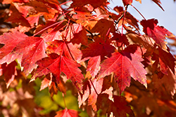 Sun Valley Red Maple (Acer rubrum 'Sun Valley') at North Branch Nursery