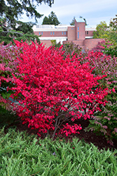 Compact Winged Burning Bush (Euonymus alatus 'Compactus') at North Branch Nursery