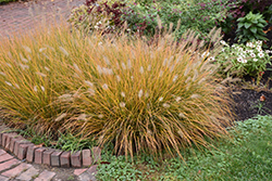 Hameln Dwarf Fountain Grass (Pennisetum alopecuroides 'Hameln') at North Branch Nursery