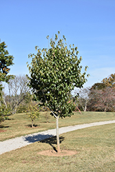 Emerald Pointe Hardy Rubber Tree (Eucommia ulmoides 'Empozam') at North Branch Nursery