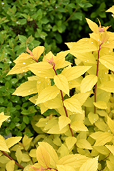 Lemon Princess Spirea (Spiraea japonica 'Lemon Princess') at North Branch Nursery