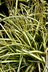 EverColor® Eversheen Japanese Sedge (Carex oshimensis 'Eversheen') at North Branch Nursery