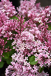 Scent And Sensibility™ Pink Lilac (Syringa 'SMSXPM') at North Branch Nursery