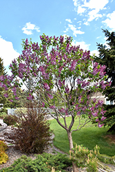 Sensation Lilac (Syringa vulgaris 'Sensation') at North Branch Nursery