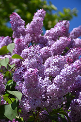 Common Lilac (Syringa vulgaris) at North Branch Nursery