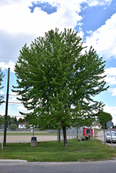Silver Maple (Acer saccharinum) at North Branch Nursery