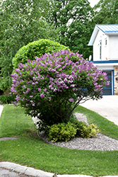 Donald Wyman Lilac (Syringa x prestoniae 'Donald Wyman') at North Branch Nursery