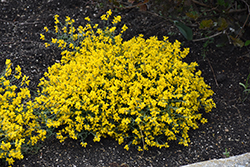 Bangle® Dyers Greenwood (Genista lydia 'Select') at North Branch Nursery