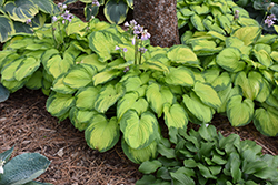 Old Glory Hosta (Hosta 'Old Glory') at North Branch Nursery